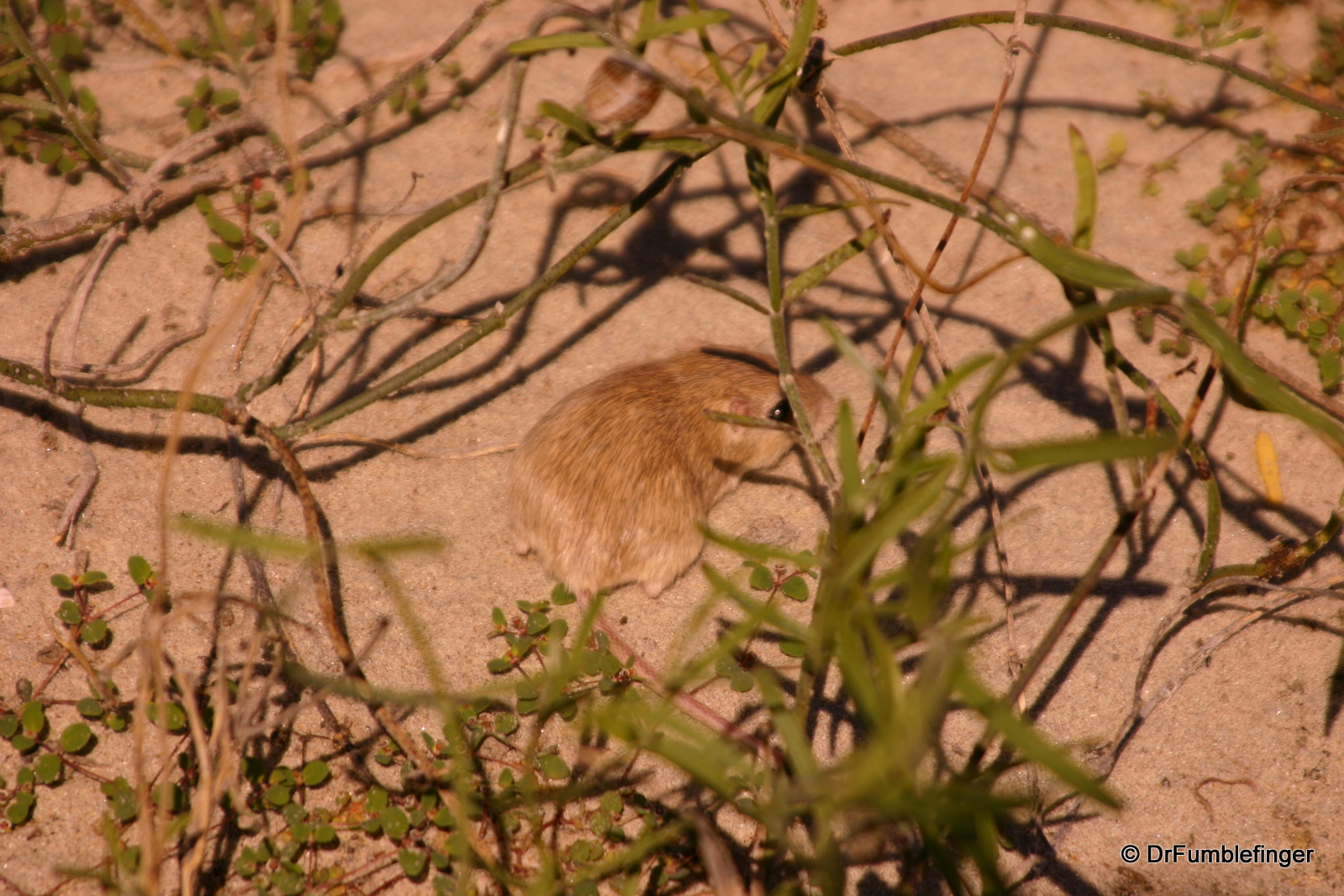 Small rodent trying to hide, Magdalena Bay