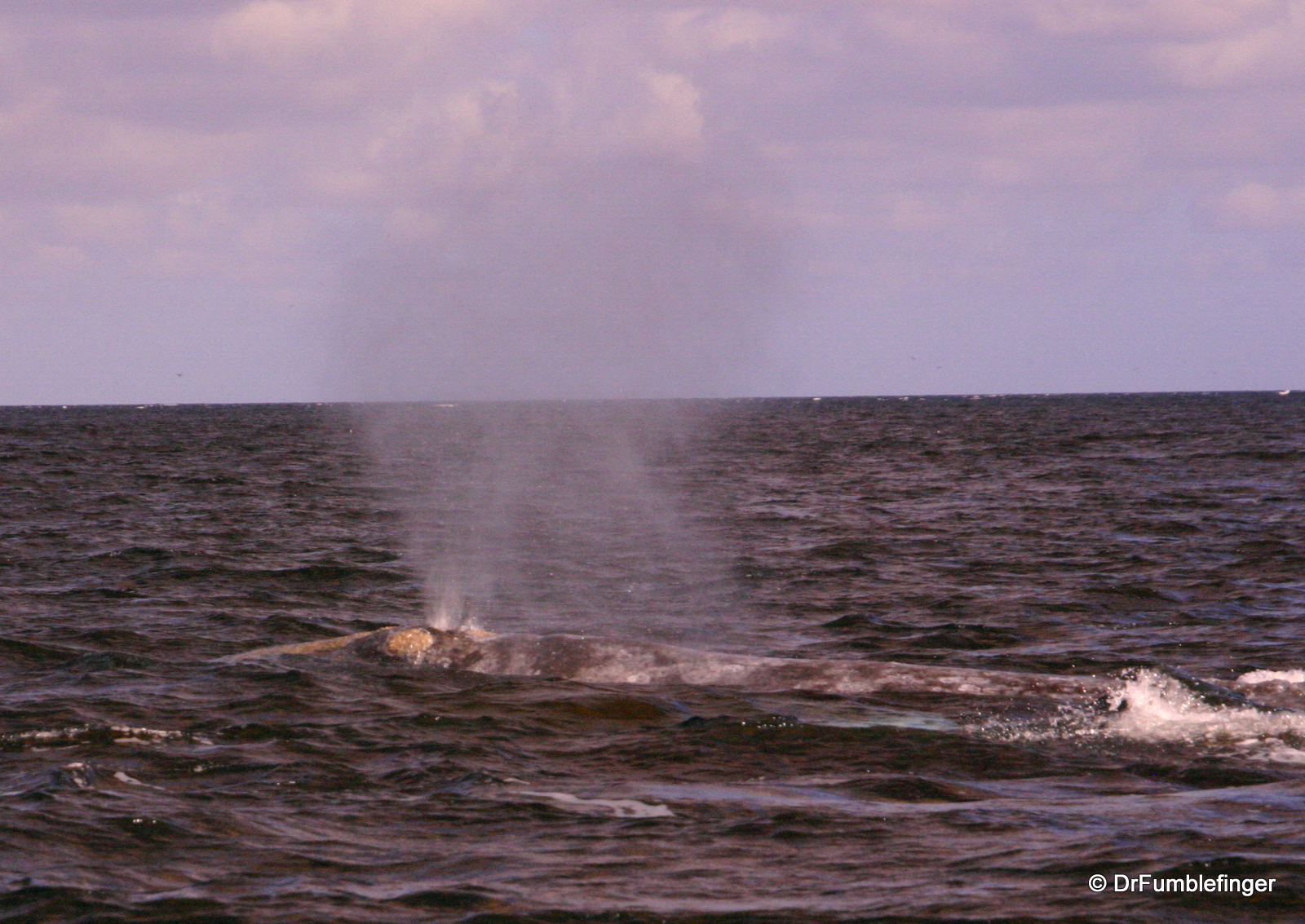 """Gray whale """"blow"""", Magdalena Bay"""