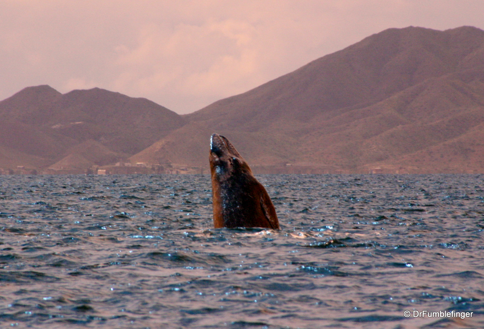 "Gray whale""""skyhopping"", Magdalena Bay"