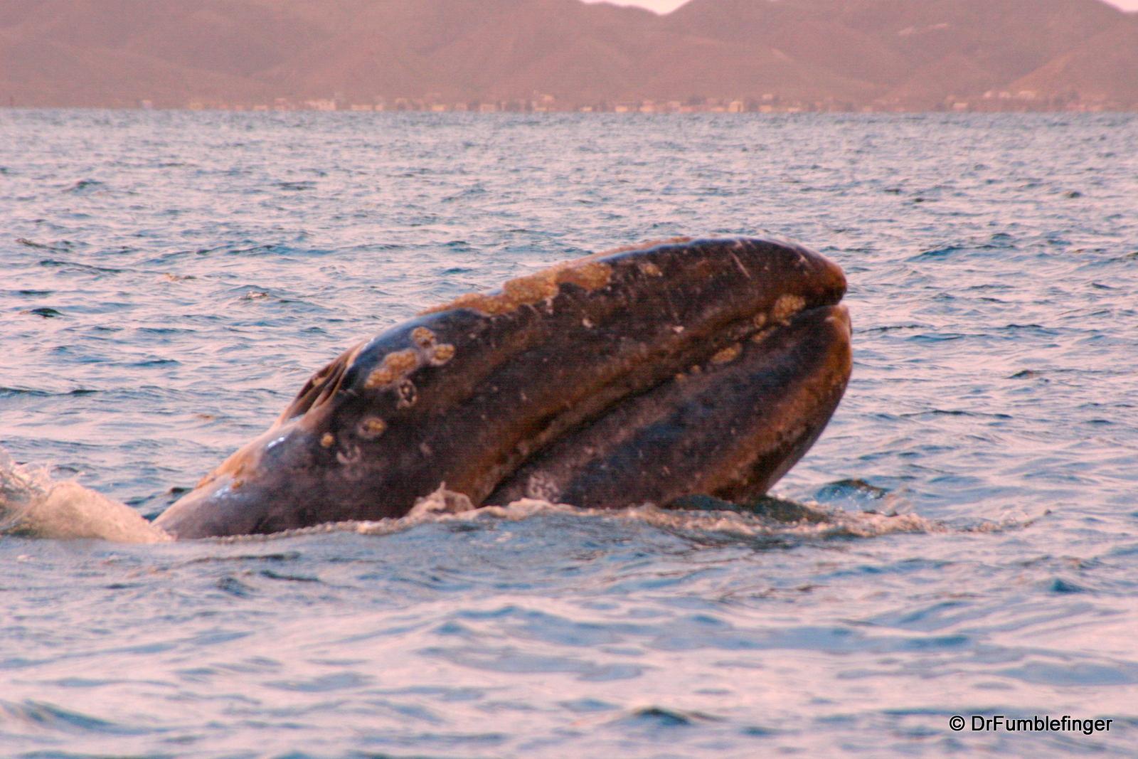 Gray whale calf, Magdalena Bay