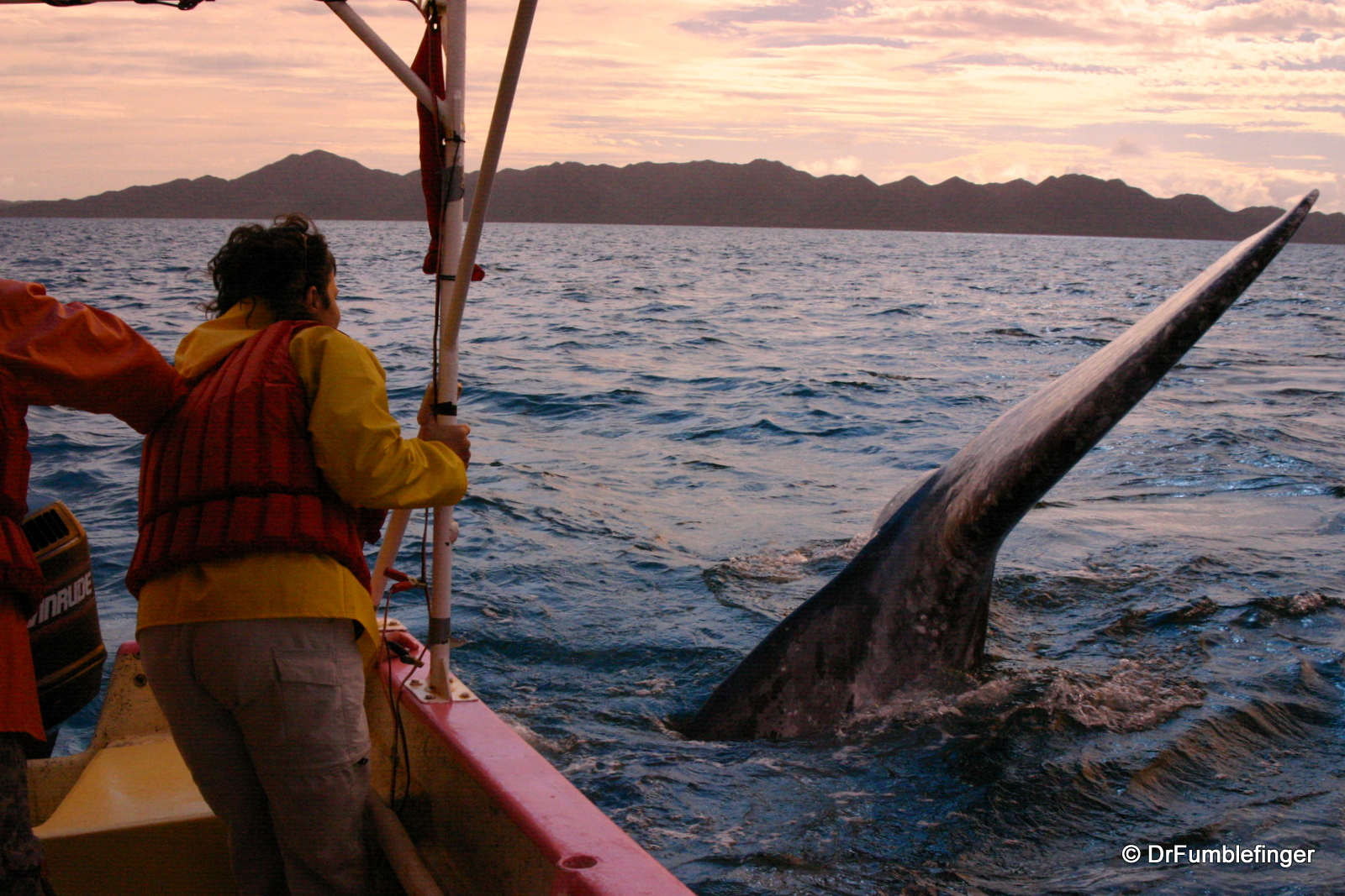 Gray whale diving under boat, Magdalena Bay