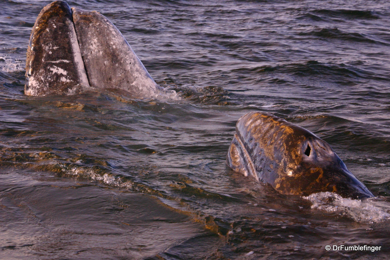 Gray whale and calf, Magdalena Bay