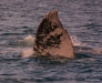 Gray whale tail fin, Magdalena Bay