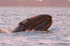 Gray whale calf, Magdalena Bay
