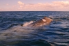 Gray whale, Magdalena Bay