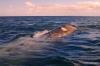 Gray whale, Magdalena Bay