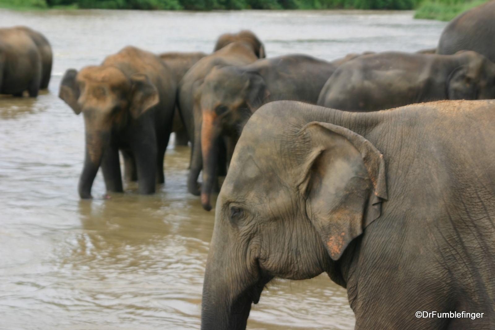 Elephants, Maha Oya River, Pinnawala Elephant Orphanage
