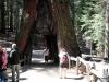 Tunnel Tree, Mariposa Grove, Yosemite National Park