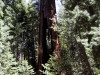 Clothespin Tree, Mariposa Grove, Yosemite National Park
