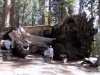 Fallen Tunnel Tree,  Mariposa Grove, Yosemite National Park