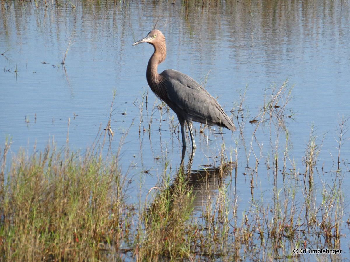 Merritt Island National Wildlife Refuge.   Little Blue Heron