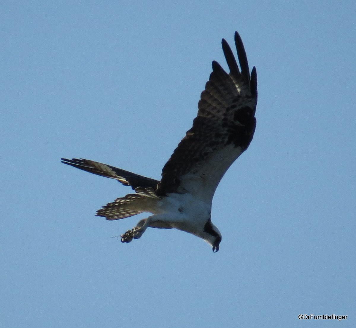 Merritt Island National Wildlife Refuge.  Osprey
