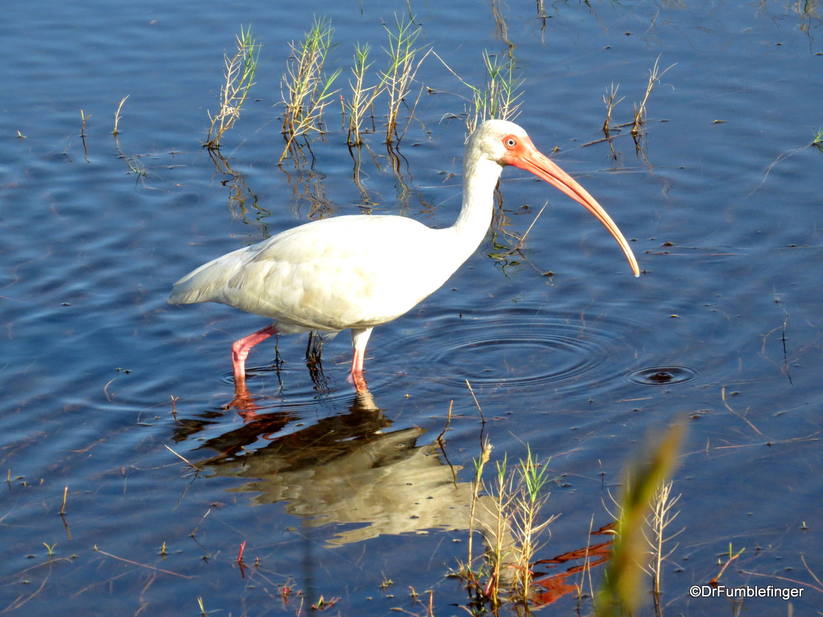 Merritt Island National Wildlife Refuge.  White ibis