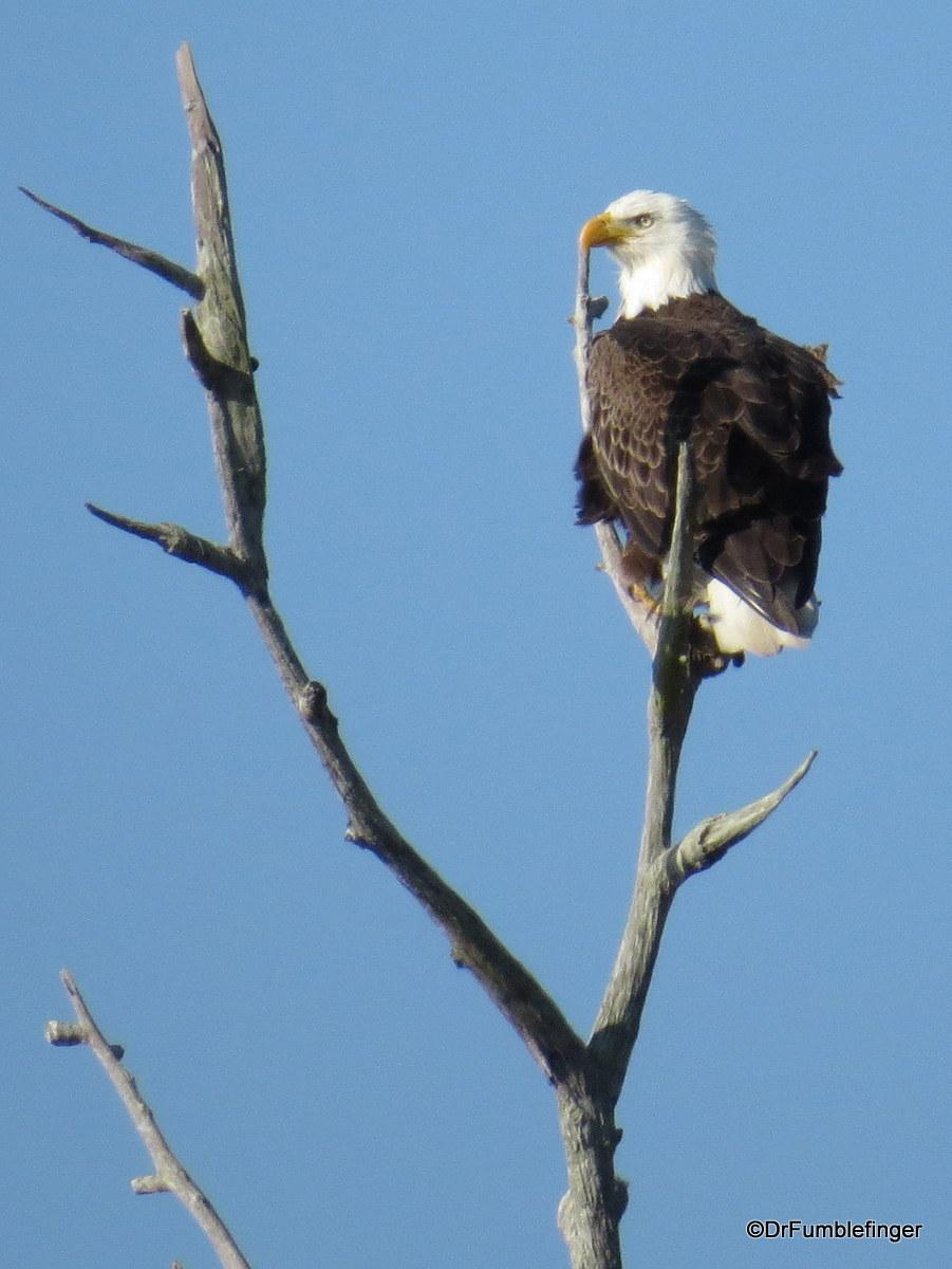 Merritt Island National Wildlife Refuge. Bald Eagle