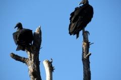 Merritt Island National Wildlife Refuge. Black Vulture