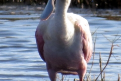 Merritt Island National Wildlife Refuge. Roseate spoonbill