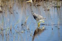 Merritt Island National Wildlife Refuge. Tricolored heron