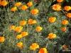 Mission San Juan Capistrano.  Garden.  California poppies