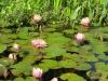 Mission San Juan Capistrano.  Fountain & lilies
