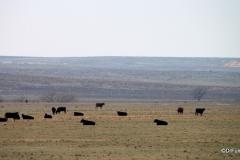 Cattle grazing near Monument Rocks, Kansas