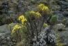 Wildflowers, Shira plateau