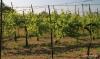 Torcello vineyard