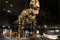 T Rex exhibits,  Museum of the Rockies