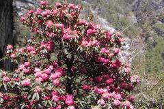 Rhododendrons, Namche Bazaar