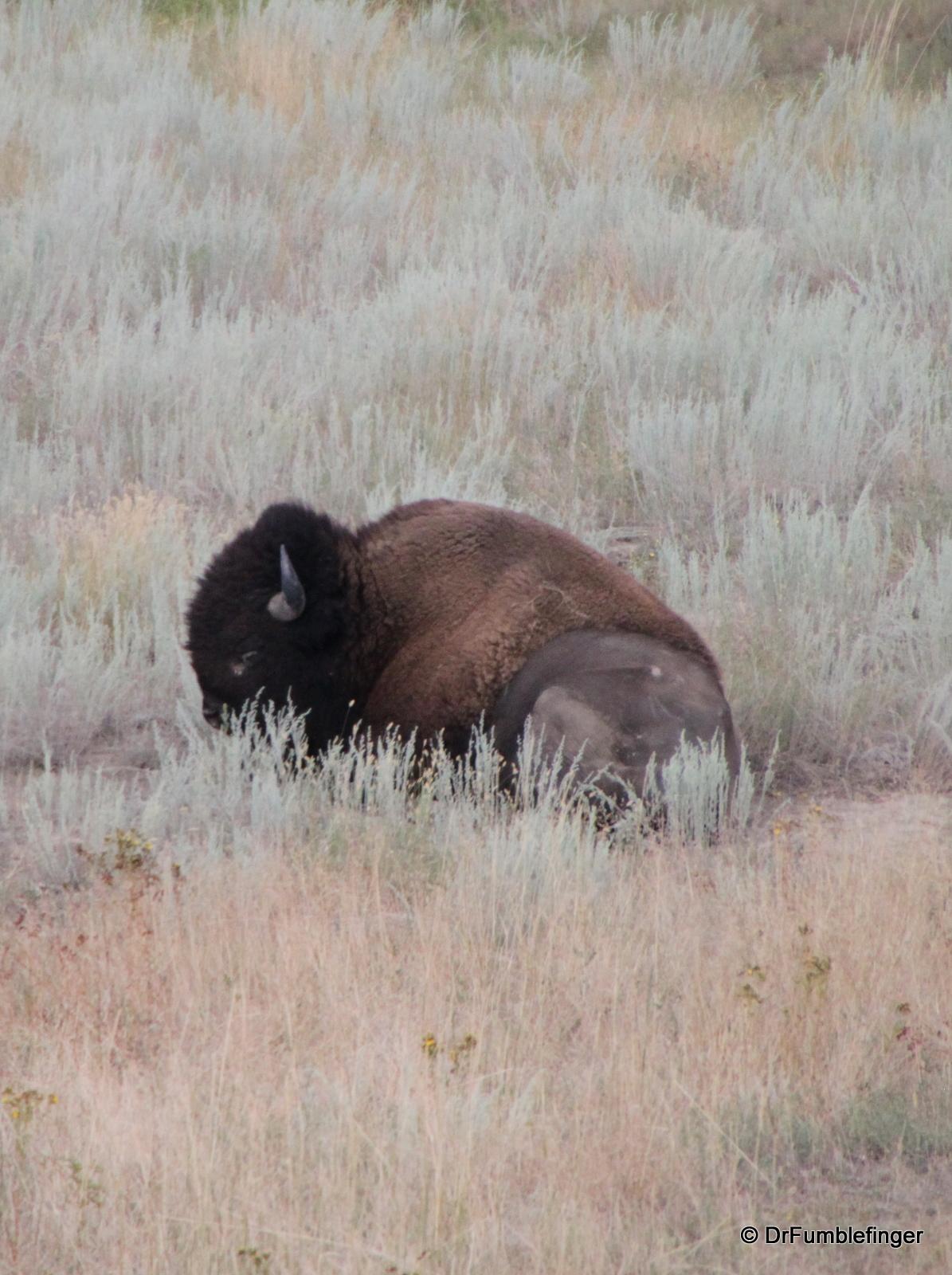 National Bison Refuge -- buffalo