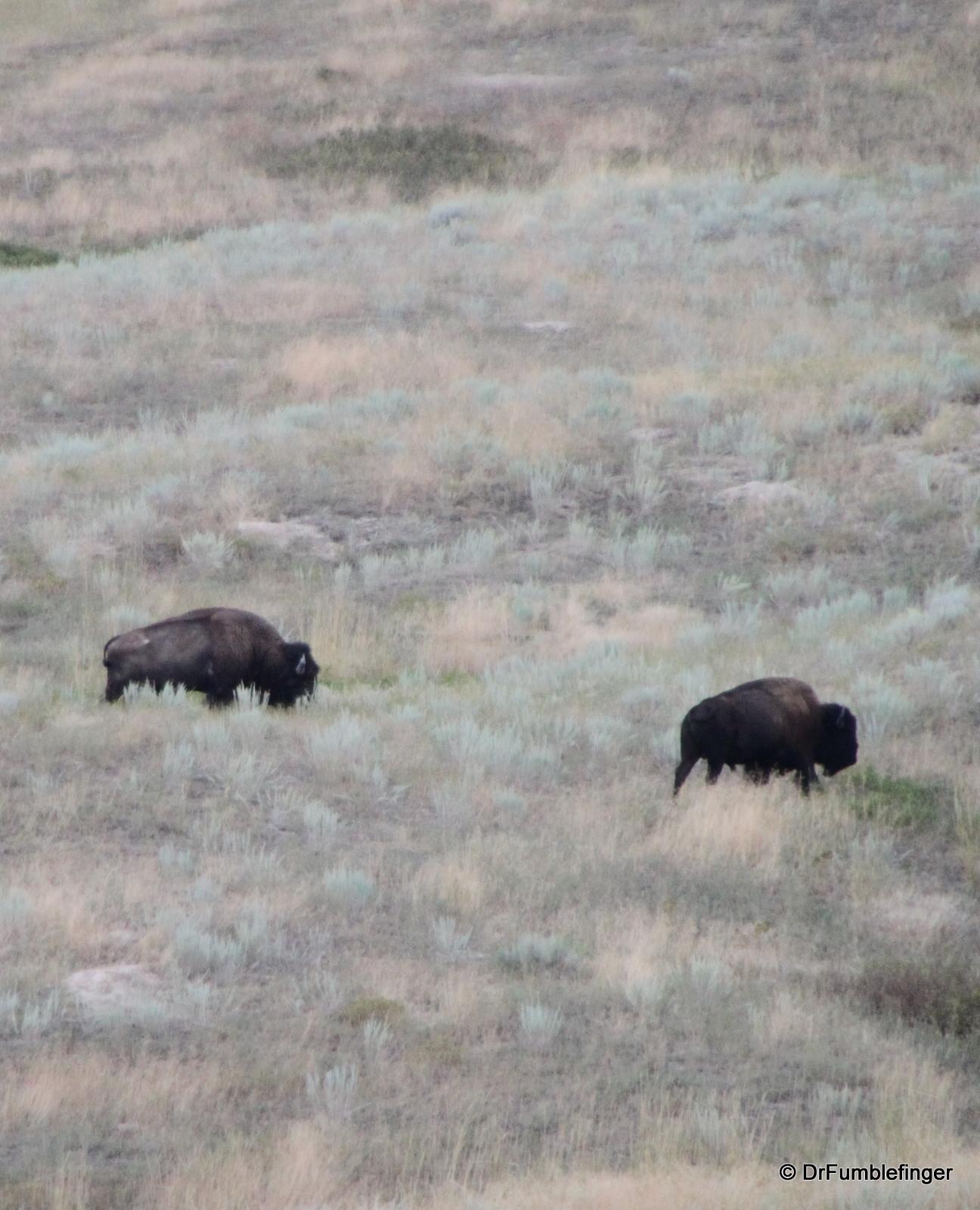 National Bison Refuge -- buffalo herd