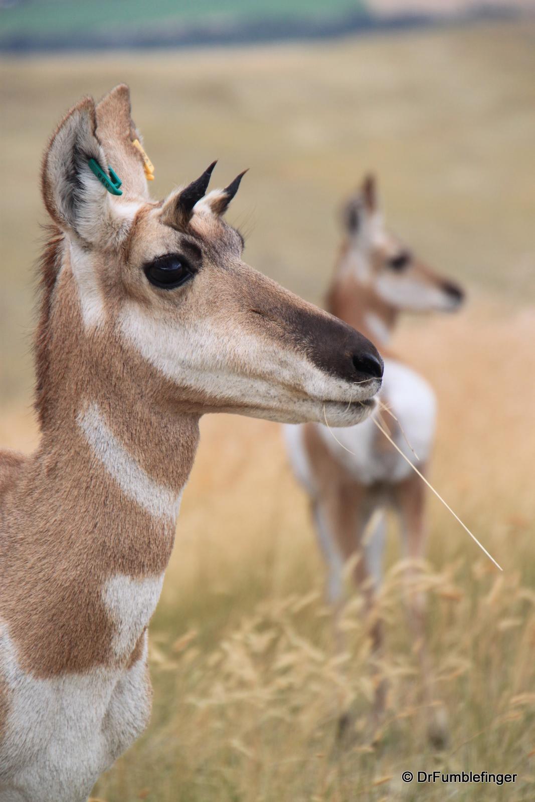 National Bison Refuge -- pronghorn antelope