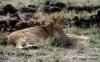 Lioness, Ngorongoro Crater.