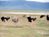 Ostriches, Ngorongoro Crater
