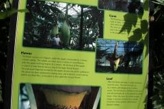 Niagara Parks Floral Showcase.  Titum Arum