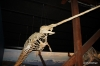 Husavik, Whale Museum (Narwhal)