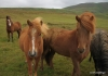 Icelandic horses in Husavik