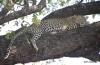 Leopard in tree, Okavango Delta, Botswana
