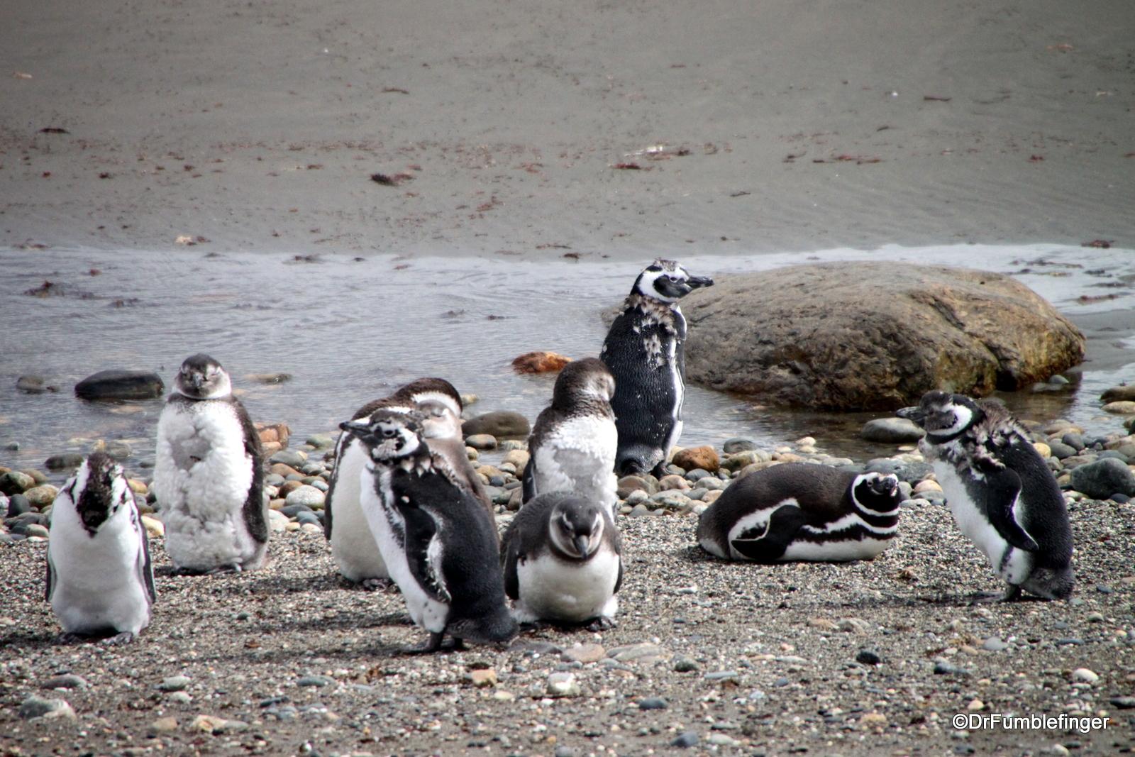 Otway Penguin Colony