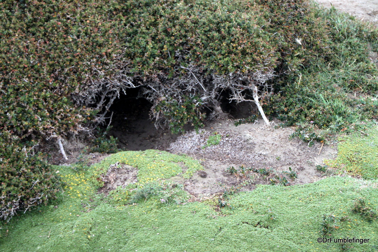 Penguin nesting holes, Otway Penguin Colony