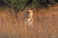 Tiger, Panna Tiger Reserve