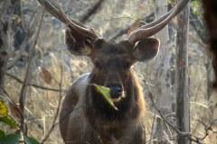 Sambar deer, Panna Tiger Reserve