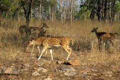 Spotted deer, Panna Tiger Reserve