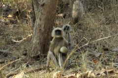 Gray langur monkeys, Panna Tiger Reserve