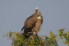 Vulture, Panna Tiger Reserve