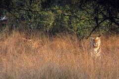 Tigers, Panna Tiger Reserve