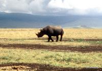 Black Rhino, Tanzania