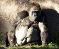 Western Gorillas