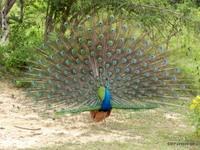 Wild Peacock, Sri Lanka
