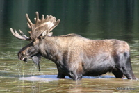 Moose, Piney Lake