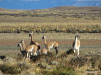 Guanacos, Patagonia